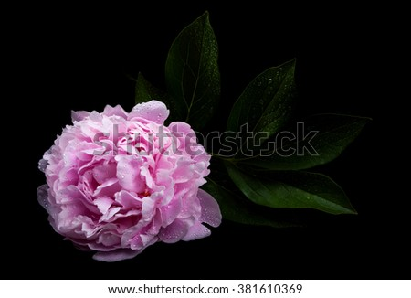 Still life with beautiful pink peonies - stock photo