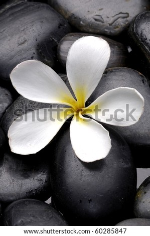 Still life with Frangipani flowers and pebbles - stock photo