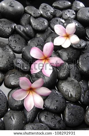 Still life with three frangipani on black peddles - stock photo