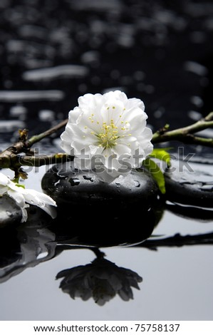 Still life with white apricot blossoms bud