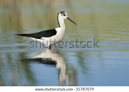 Stilt in water with reflection