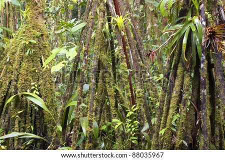 Stilt root palms (Iriartea deltoidea) covered in moss and epiphytes in the rainforest, Ecuador - stock photo