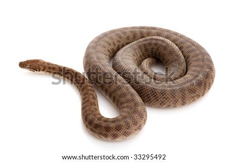 Stimson??s Python (Antaresia stimsoni) isolated on white background. - stock photo