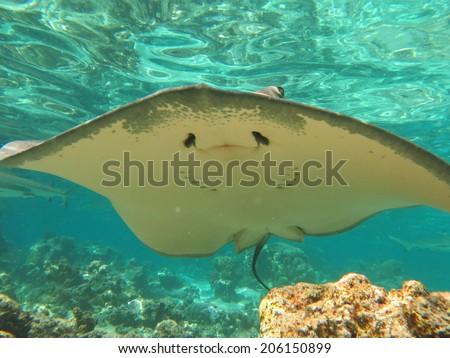 Sting ray, snorkeling Tahiti - stock photo
