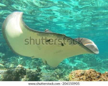 Sting ray, snorkling Tahiti - stock photo