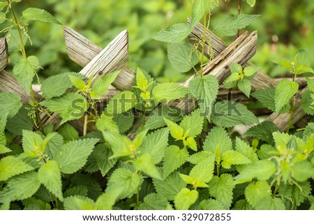 stinging nettle at a wooden fence - stock photo