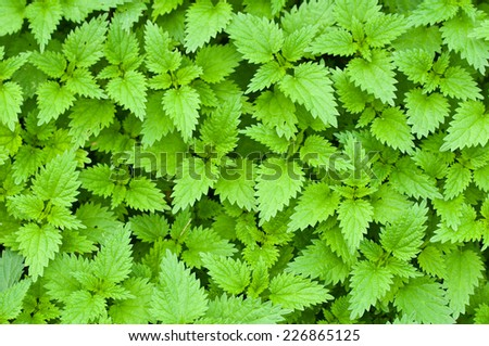 stinging nettle background texture - stock photo