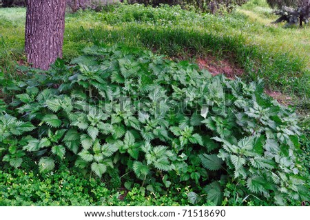 Stinging nettle herbal plants growing under a tree in the woods. - stock photo