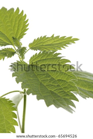 Stinging nettle plant leaf in closeup