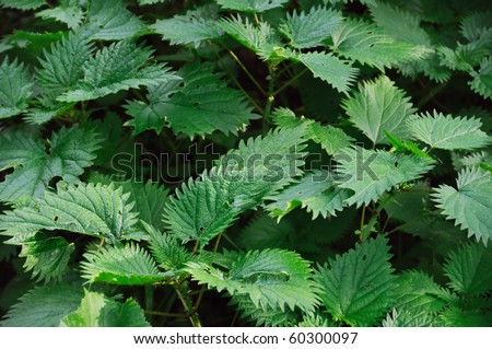 Stinging nettle texture. Herbal plant abstract background. - stock photo