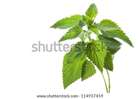 Stinging nettle ( Urtica dioica ), close up - stock photo