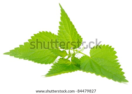 Stinging Nettle (Urtica Dioica) Isolated on White Background - stock photo