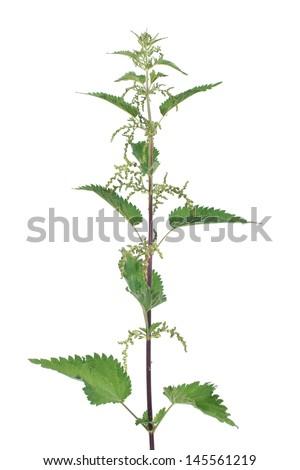 Stinging nettle with flowers isolated on white background - stock photo