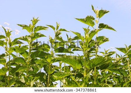Stinging nettle young plants in bright sunlight, in Latin: Urtica dioica - stock photo