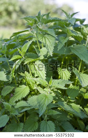 stinging nettles (urtica dioica) - stock photo