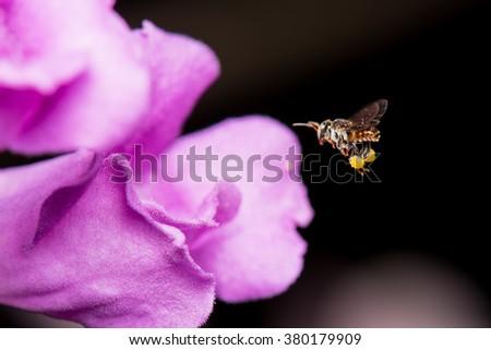 Stingless Bee(Scientific Name: Trigona apicalis Smith) with purple flower - stock photo