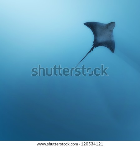 Stingray - stock photo