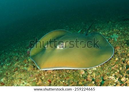 Stingray - stock photo