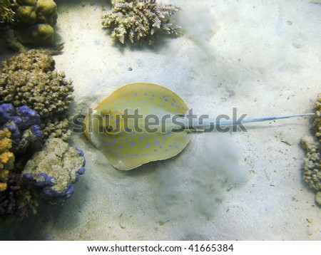 Stingray and coral reef - stock photo