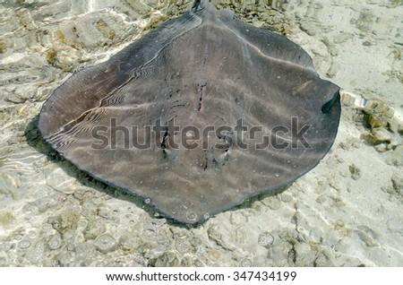 Stingray floating in the turquoise lagoon of Moorea, French Polynesia - stock photo