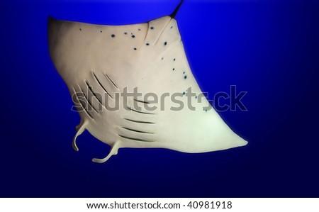stingray on blue background - stock photo