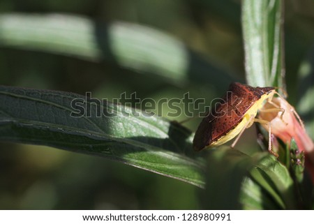 Stink Bug - stock photo