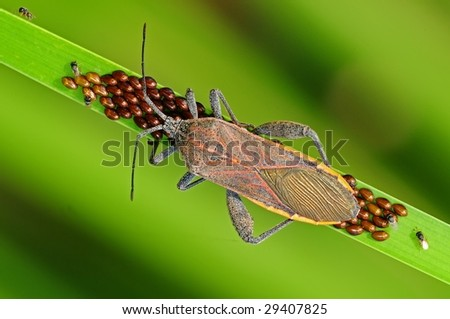 stink bug and egg in the parks - stock photo