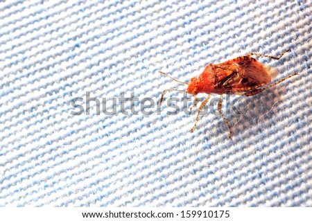 Stink bug on cloth - A blood-feeding insect crawls on bed sheet. - stock photo