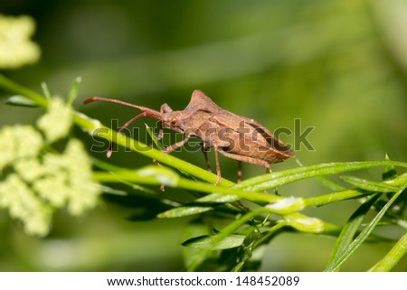 Stink bug on nature - stock photo