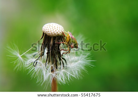 Stink bug on seed head with green background - stock photo