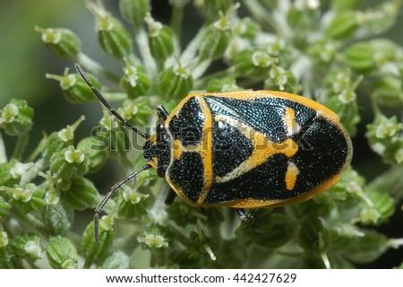 Stinkbug - stock photo
