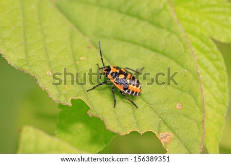 stinkbug nymphal on green leaf in the wild natural state - stock photo
