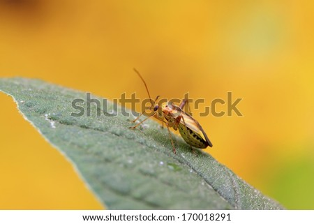 stinkbug on green leaf in the wild - stock photo