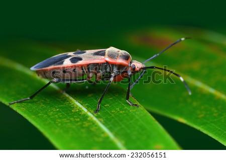 Stinkbug Standing On The Leaf  - stock photo