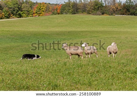 Stock Dog and Sheep (Ovis aries) Standoff in autumn pasture - stock photo