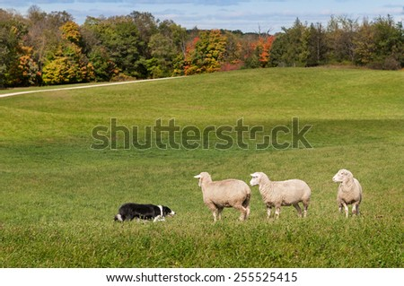 Stock Dog (Border Collie) and Sheep (Ovis aries) Standoff - fall background - stock photo