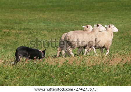 Stock Dog Herds Trio of Sheep Right - focus specifically on sheep - stock photo