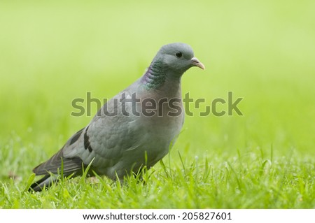 Stock Dove;( Columba oenas) close up on lawn