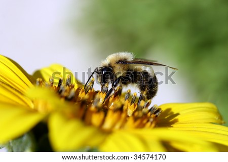 Stock image close up photo of a bumble bee on a sunflower with room for copyspace.