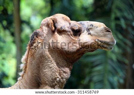 Stock image of camel  - stock photo