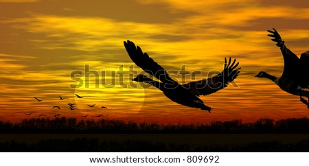 Stock image of geese in flight at sunset - stock photo