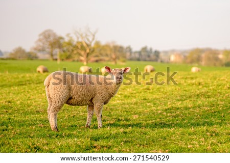 Stock image of sheep grazing in a field on a spring day in England - stock photo