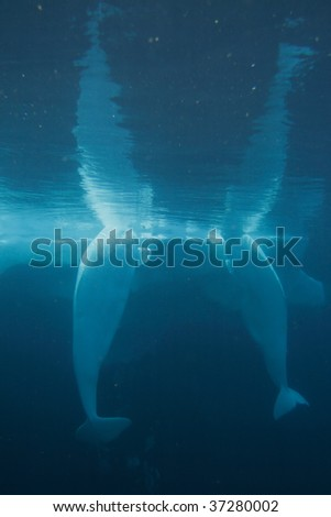Stock image of white beluga whale
