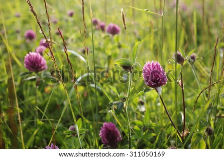 Stock image: three-leaf clover at warm summer day at meadow in sunlight. - stock photo