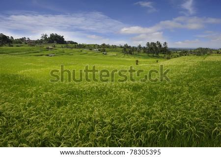 Stock Photo: Bali - Jati Luwih Rice Terraces - stock photo