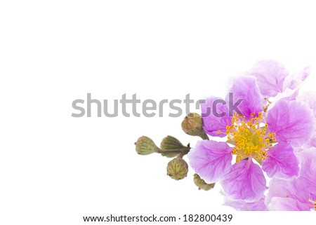 Stock Photo - Cananga odorata flowers, Thai Flower Tabak on white background