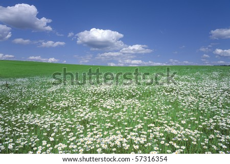 Stock Photo:Flower field and blue sky with clouds. - stock photo