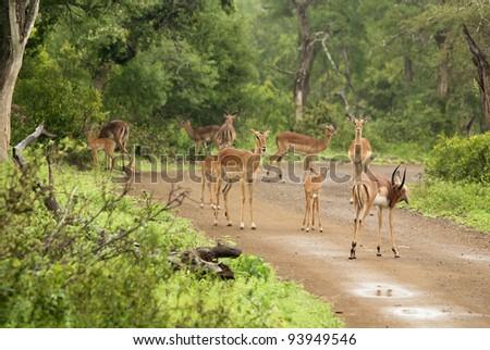 Stock Photo: Impalas Hluhluwe-Imfolosi Park South Africa - stock photo