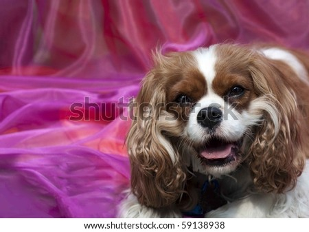 Stock photo of a Cavalier King Charles Spaniel on pink background - stock photo
