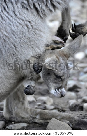 Stock photo of a joey in a kangaroo's pouch